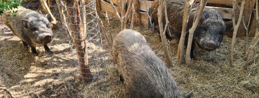 Minischweine im FILMQUARTIER WIEN